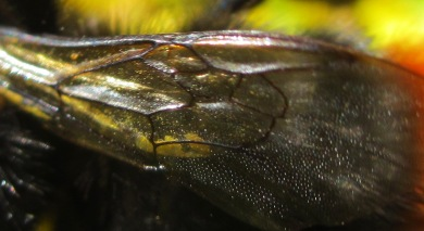 wing of red tailed bumblebee