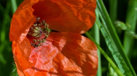 poppy ... (ready to be enlarge by a single click)